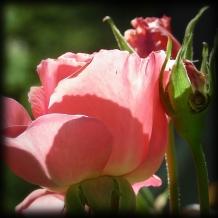 pinkrose2shoppedsm