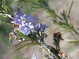 Purple bloom on Rosemary