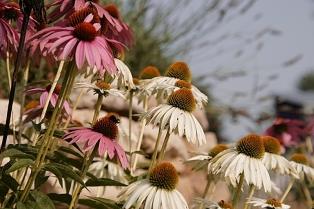 cone flowers