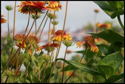 sunflowers close