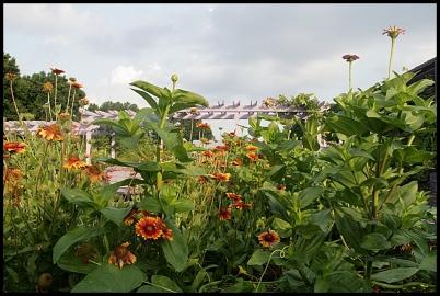 sunflowers far 1