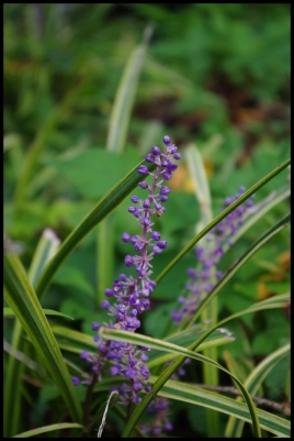 Monkey grass flower