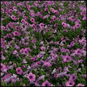 purple bugle flowers
