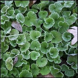 frosty dollar weed 2