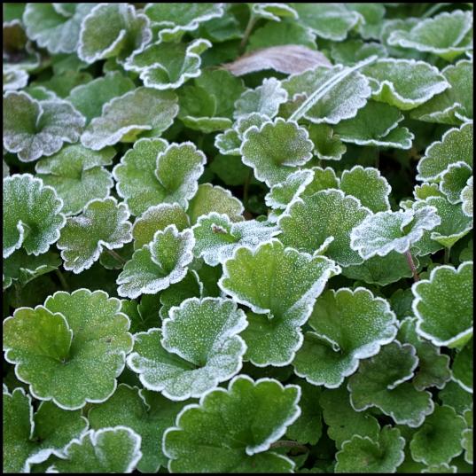 frosty dollar weed