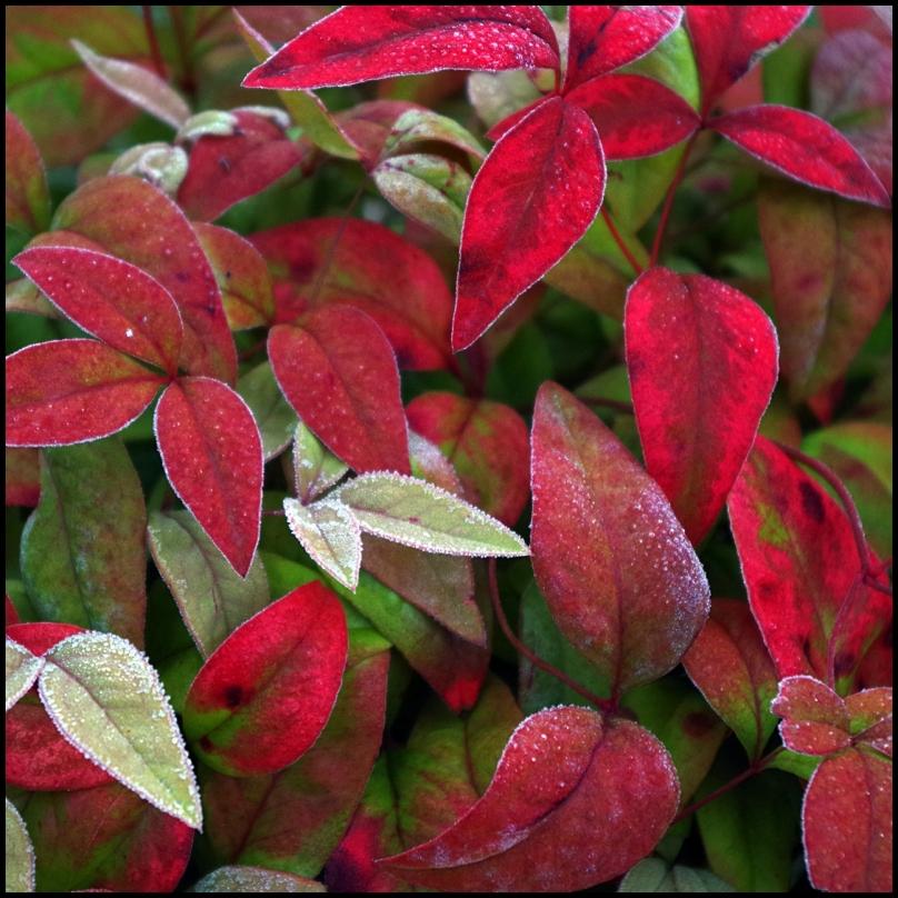 frsoty fire bush