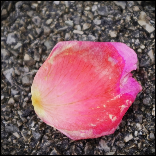 Pink rose petal. Love the different colors as it dies and fades.