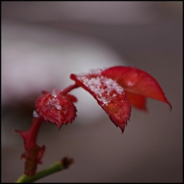 Leaves from rose bush in snow
