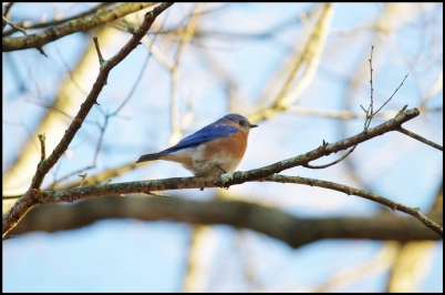 Bluebird in tree. It took three clicks of the camera to get this shot.