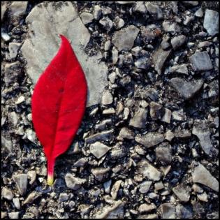 Lone red leaf