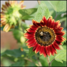 red sunflower with bee sm
