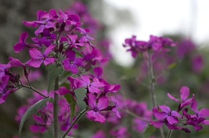 Purple Money Plant