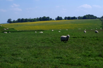 Sheep at Stonehenge.