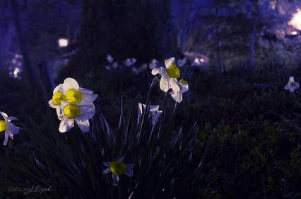 daffodils at night