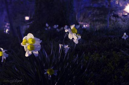 daffodils at night
