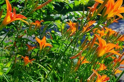 daylilies sm