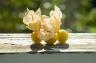 Ground Cherries 3