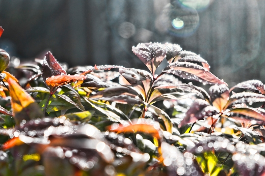 Frost becomes water droplets in the early morning sun.
