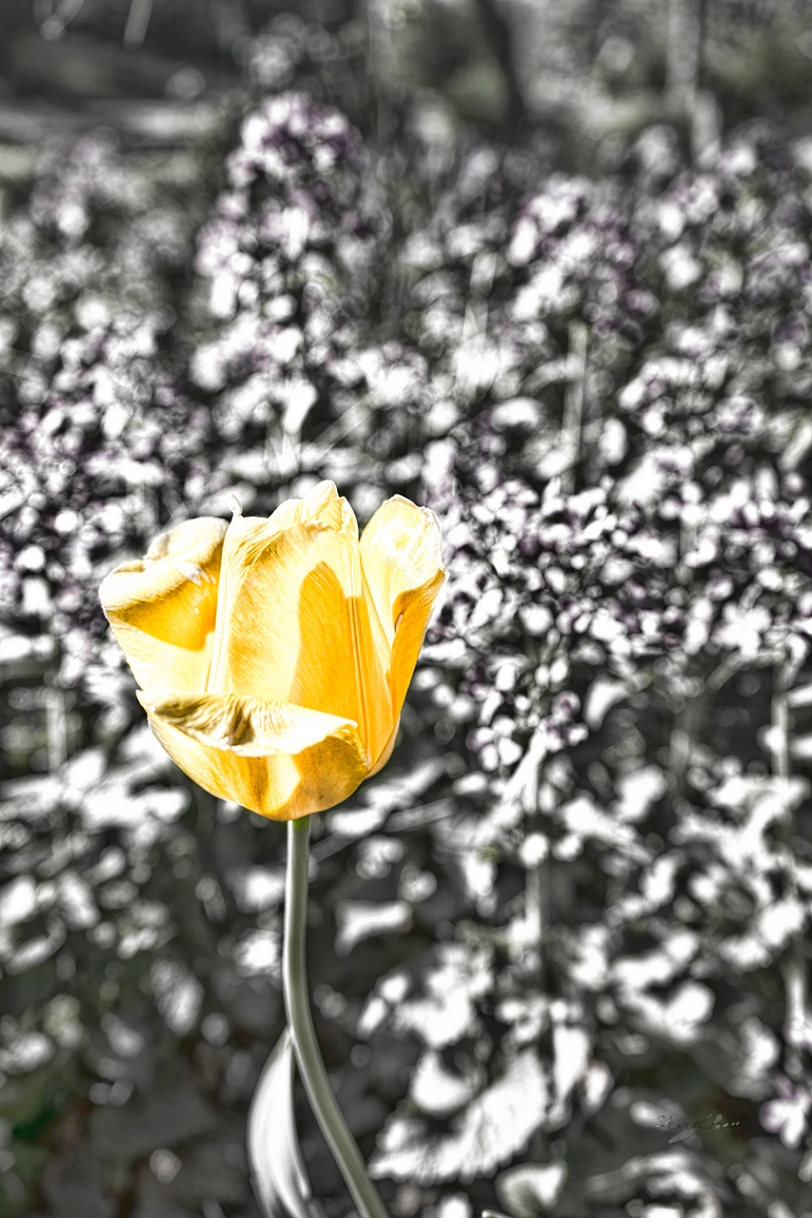 Yellow Tulip 4943 sm