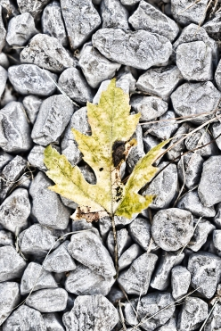 Yellow / green leaf on gravel