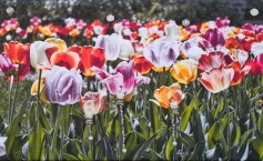 Tulips and dangling beads
